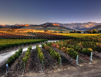 rows of grapevines in a vineyard with hills in the distance in santa barbara california wine country